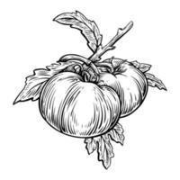 Plantas de vegetais de tomate com gravura de ilustração vetorial vetor