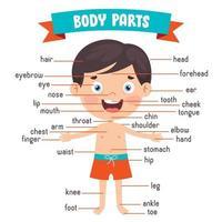 criança engraçada mostrando partes do corpo humano vetor