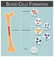 formação de células sanguíneas medula óssea produção série de células sanguíneas eritrócitos linfócitos neutrófilos monócitos eosinófilos basófilos trombócitos conceito de hematologia e infográficos vetor