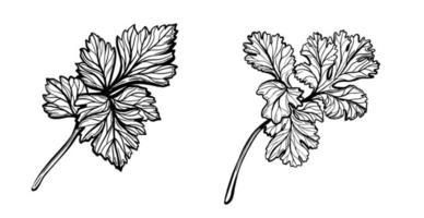 um monte de salsa. raminhos de tempero de salsa. ilustração vetorial desenhada à mão vetor