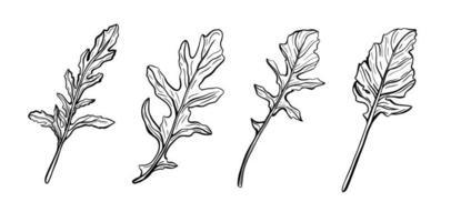 folhas de rúcula. especiarias e temperos italianos. ilustração vetorial vetor
