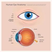 ilustração vetorial de anatomia do olho humano vetor