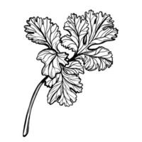 um raminho de salsa isolado em um fundo branco. a salsa é uma erva para uma dieta saudável. especiarias aromáticas picantes. ilustração desenhada à mão vetor
