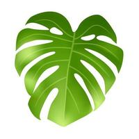 folha verde monstera isolada no fundo branco vetor