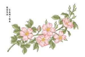 ramo de cachorro-de-rosa rosa ou rosa canina com flores e folhas de ilustração botânica desenhada à mão vetor
