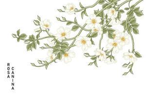 ramo de rosa canina branca ou rosa canina com flores e folhas desenhadas à mão ilustrações botânicas vetor
