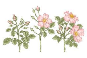 conjunto de ramo de rosa cão rosa ou rosa canina com flores e folhas desenhadas à mão ilustrações botânicas vetor