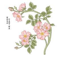 ramo de rosa cachorro-de-rosa ou rosa canina com flores e folhas desenhadas à mão ilustrações botânicas vetor