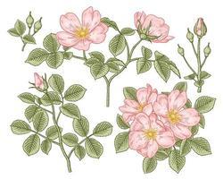ramo de cachorro-de-rosa rosa ou rosa canina com flores e folhas desenhadas à mão ilustrações botânicas conjunto decorativo vetor