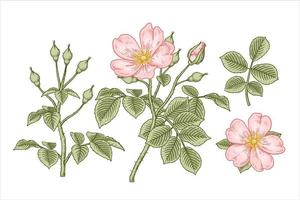 ramo de rosa cão rosa ou rosa canina com flores e folhas elementos desenhados à mão ilustrações botânicas vetor
