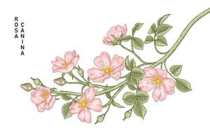 ramo de rosa cão-de-rosa ou rosa canina com flores e folhas ilustrações vetoriais desenhadas à mão vetor