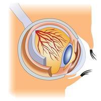 a estrutura da parte do rosto da anatomia médica do olho humano vetor