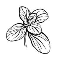 folhas de manjericão isoladas em um fundo branco. ervas italianas. um raminho de manjerona. o manjericão é um tempero perfumado e perfumado. ilustração vetorial desenhada à mão vetor