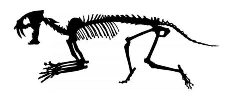 Esqueleto de hoplophoneus primaevus de tigre com dentes de sabre. silhueta do vetor. vista lateral . vetor