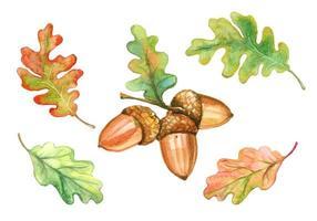 conjunto de bolotas e folhas de carvalho em aquarela vetor