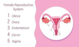 diagrama do sistema reprodutivo feminino humano do órgão interno vetor