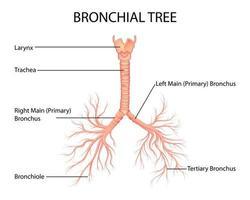 ilustração de saúde e educação médica desenho gráfico da árvore brônquica humana de pulmões para estudo de biologia científica vetor