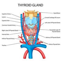 ilustração de gráfico de desenho de educação médica da glândula tireóide humana para estudo de biologia vetor