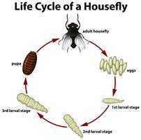 Círculo de vida de uma mosca vetor
