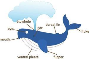 ilustração da parte do vocabulário de baleia do corpo. vetor