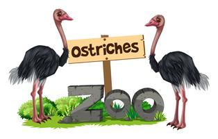 Avestruzes no zoológico vetor