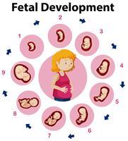 Um cartaz de educação sobre o desenvolvimento fetal vetor