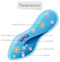 Um diagrama Paramecium no fundo branco vetor