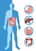 Anatomia de humanos mostrando diferentes órgãos vetor