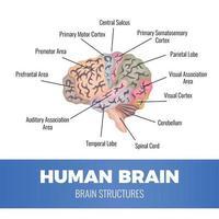 ilustração em vetor composição anatomia do cérebro humano
