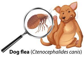 Cão com pulga ampliada vetor