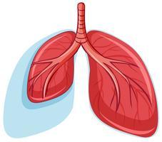 Conjunto de pulmões saudáveis vetor