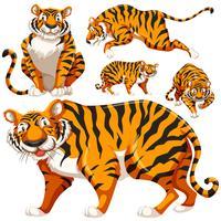 Conjunto de tigres selvagens vetor
