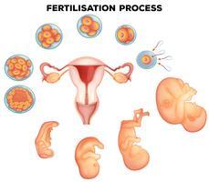 Processo de fertilização em humanos vetor