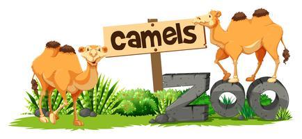 Dois camelos no zoológico vetor