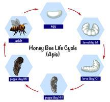 Ciclo de vida da abelha do mel vetor