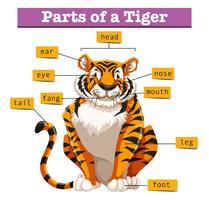 Diagrama mostrando partes do tigre vetor