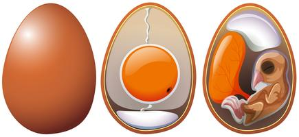Etapas do desenvolvimento do ovo vetor