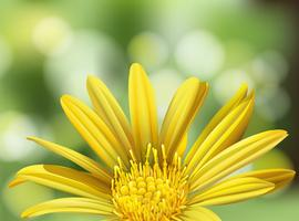 Uma bela margarida amarela no fundo da natureza vetor
