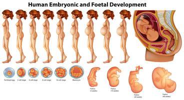 Vetor de Desenvolvimento Humano Embriônico e Fetal