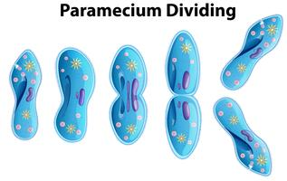 diagrama de bactérias em divisão paramecium vetor