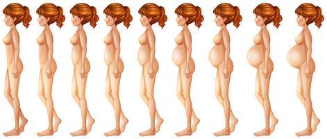 Diferentes fases da gravidez vetor