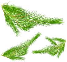 Folhas de pinheiro no fundo branco vetor