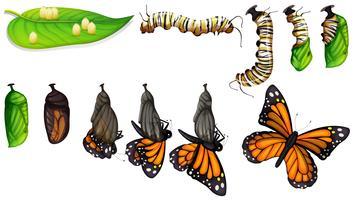 O ciclo de vida da borboleta vetor