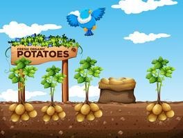 Cena, de, batatas, fazenda vetor