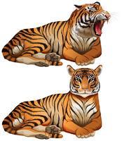 Tigres selvagens em fundo branco vetor