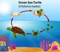 Ciclo de vida da tartaruga marinha verde vetor