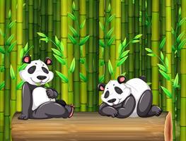 Dois ursos panda na floresta de bambu vetor