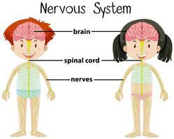 Sistema nervoso de menino e menina vetor