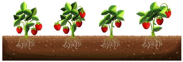 Plantas de morango na fazenda vetor