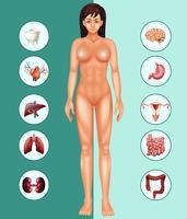 Mulher e órgãos diferentes vetor